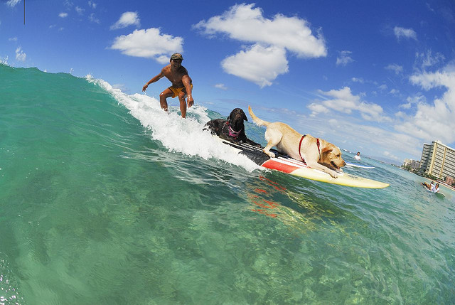 Surf Marcus and his surfing dogs Pono and Hone!