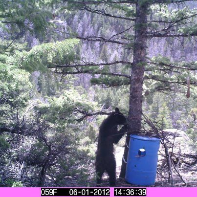 Camp and Hike This hungry bear was sent in by Michael Newton of Basin, Wyoming.