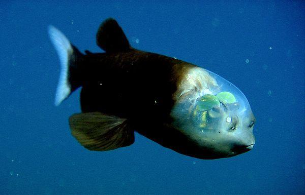 Fishing Check out this crazy fish whose eyes are inside it's transparent head! Do you know what this fish is called?