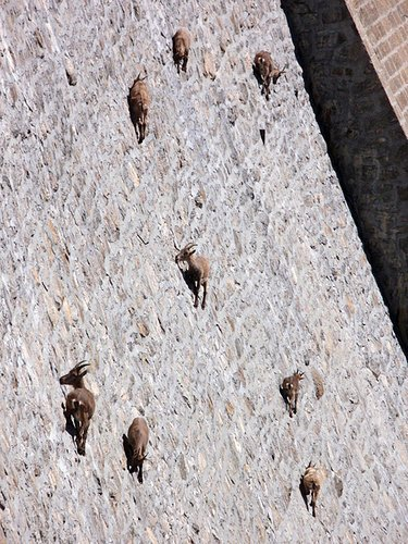 Climbing Ibex on a Dam in Lago Baitone in Brescia, Italy. No idea who to give photo credit to.  It was submitted by one of you... and later hit blogs and what not like wild fire.  Originally we were told this was in Wyoming, but some savvy people got to the bottom