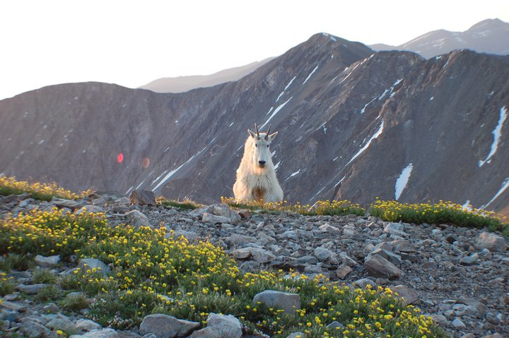 "Camp and Hike ""We ran into this goat hiking Mt. Grays and Mt. Torreys a few years ago. If I remember right this is at about 13,000'. No joke, my dog (who was exhausted) sprinted down about to 7,000' when he saw this guy.""- Eric Lance
