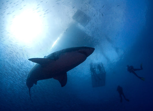 Scuba Swim With Great White Sharks