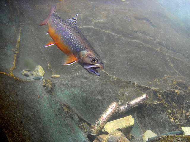 Flyfishing Underwater view of a nice brookie in the Shenandoah National Park