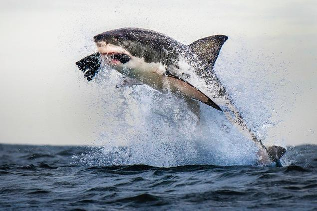 Surf Oh, wow! Crazy shot >> JAWS-dropping moment captured of great white shark flying mid-air off South African coast.