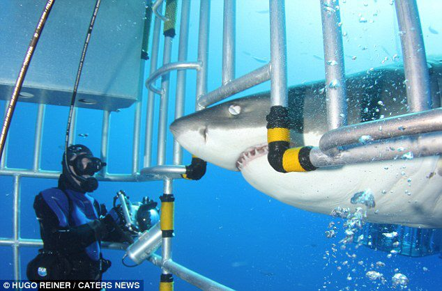 "Scuba We don't imagine sharks can read English, but we're not surprised that a diver wearing a ""bite me"" shirt provoked a great white. >> ""Well that was a bit foolish! Diver wearing 'Bite Me' T-shirt provokes angry great white shark ""http://buff.ly/UaKjls"