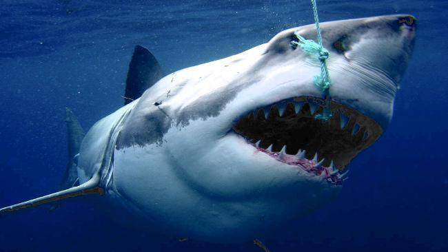 Scuba Not buying it. Conservation group's bid to link shark attacks to sheep exports. What do we think? http://buff.ly/WfNbBI
