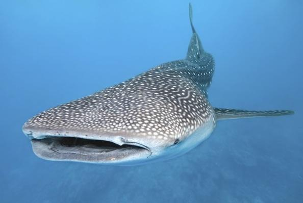 Scuba How much do you know about whale sharks and tourism? Humans may be loving one shark too much. http://buff.ly/Pkp5z7