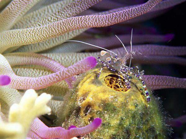 "Scuba Did you know? Neat + colorful. ""The Spotted Cleaner Shrimp"" http://buff.ly/MN2RrK"