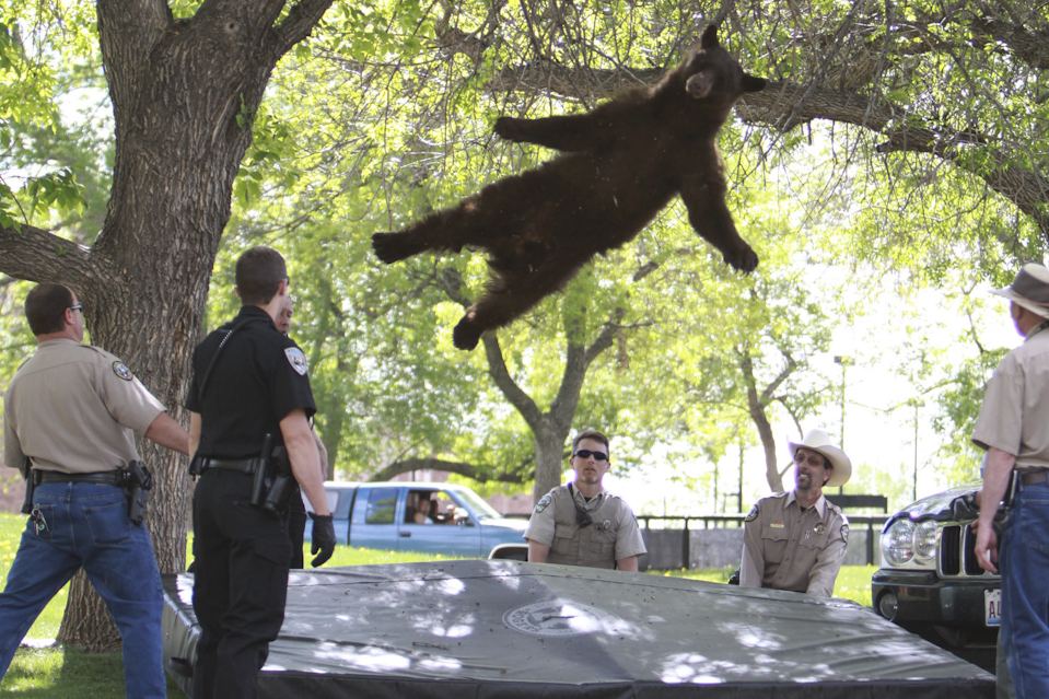 Hunting A bear, tranquilized by wildlife officials, fell from a tree where he had sought refuge while wandering around a University of Colorado Boulder, Colo., dorm complex on April 26.