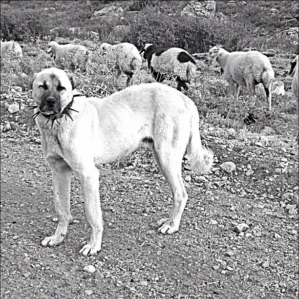Entertainment The ferocious Anatolian. These dogs aren't bred for cuddling or fetching. Their one and only job is to guard the flock. This one was seriously pissed off at our front left tire. #spikedcollars #weighsmorethanme #donotpetme --Brittany