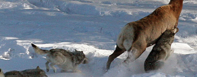 Hunting The Top Four Reasons Wolf Management Makes Sense
