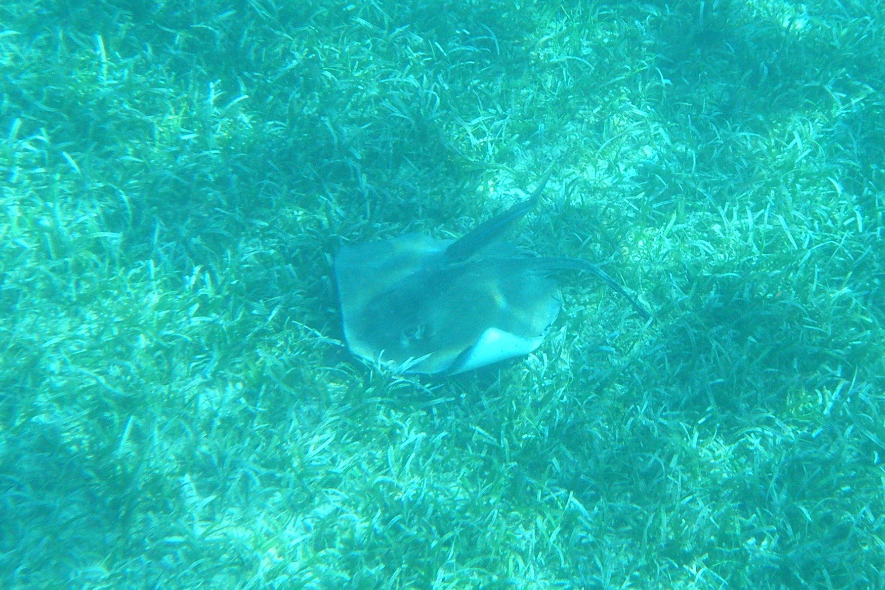 Scuba Sting Ray of the BVI