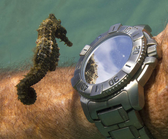 Scuba A seahorse inspects a diver's watch