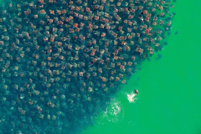 Scuba Flight of the devil rays