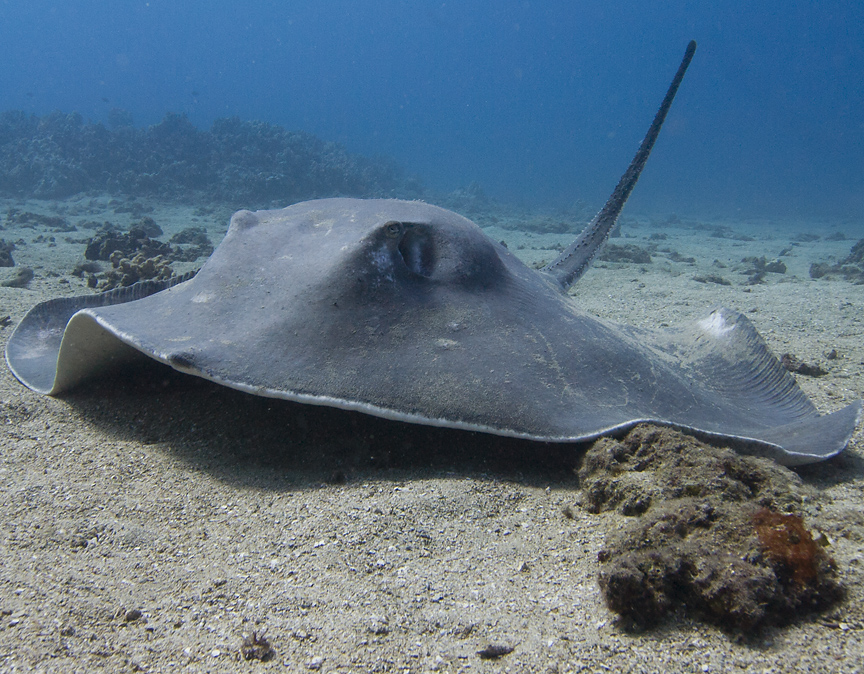 Scuba Hawaiian Broad Stringray