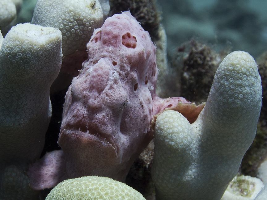 Scuba pink painted frogfish