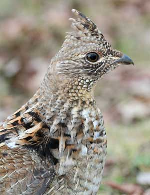 Hunting It's Only Natural: Ruffed grouse overcome winter challenges