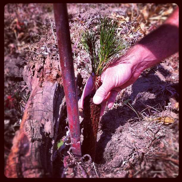 Planting whitebark pine seedlings with #treefight http://instagr.am/p/Pw1O8zsAFw/