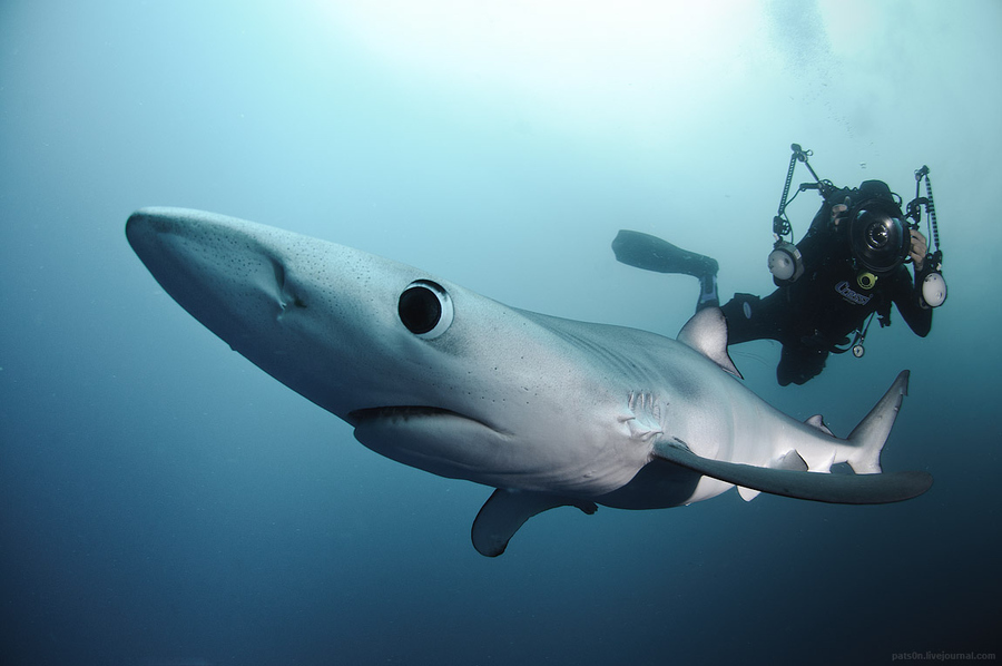 Scuba Blue shark and photographer at Canyons, 60km offshore from Cape Point, South Africa