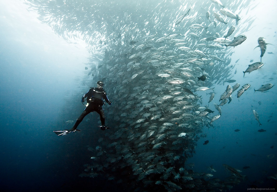 Scuba Diver and school of jacks at Dirty Rock Point, Cocos Island