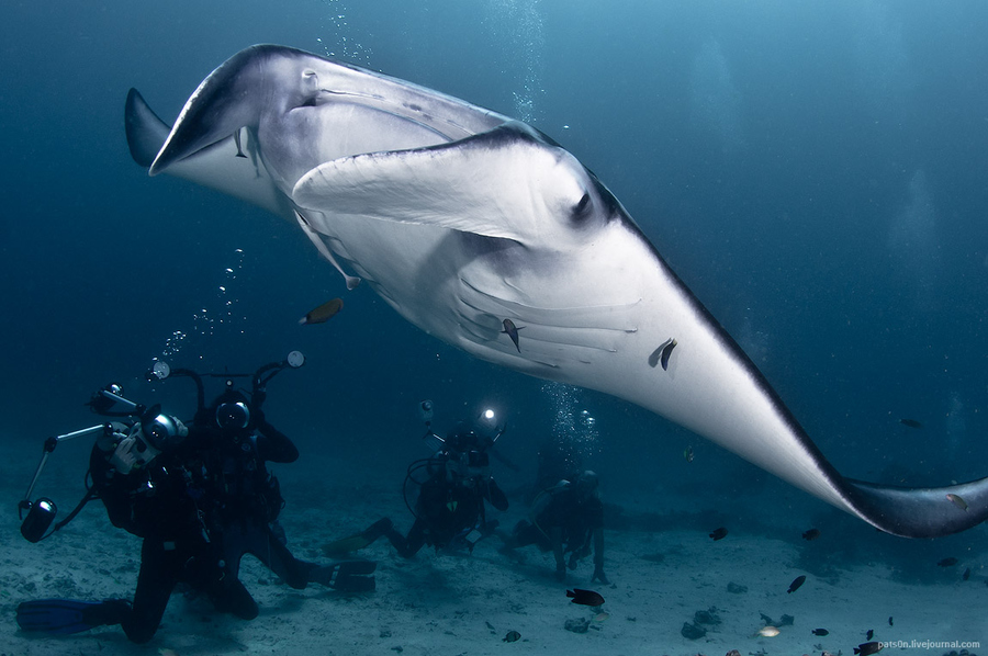 Scuba Manta ray and paparazzi in lucid waters of Raja Ampat archipelago, West Papua