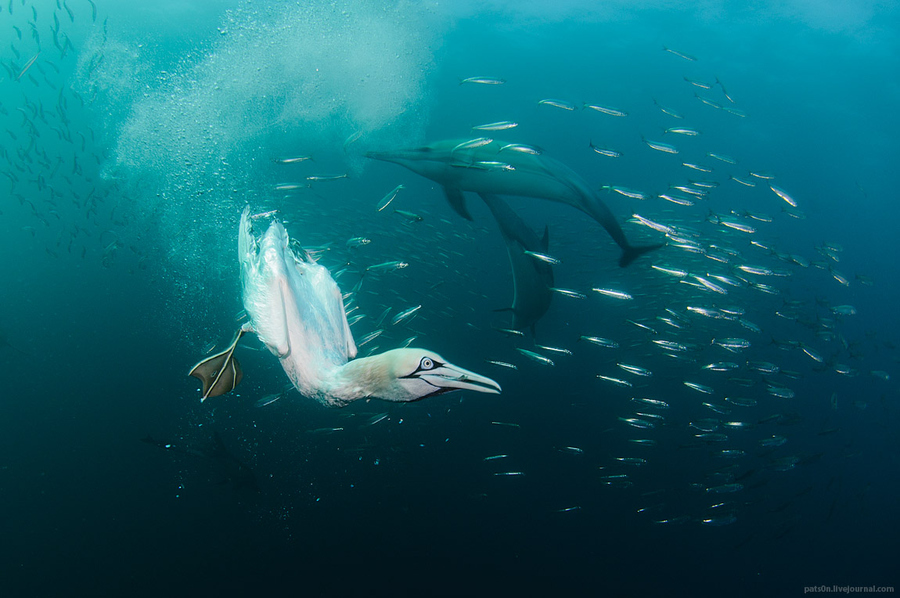 Scuba Hunting cape gannet and common dolphins dancing in the bait ball !
