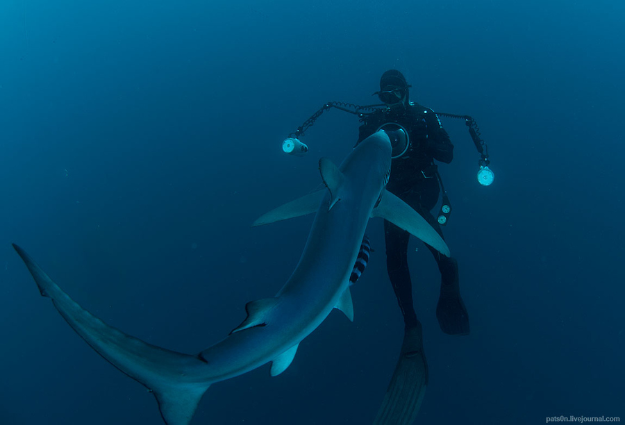 Scuba Blue sharks are not shy and come straight to the divers from all sides, so it's very important to dive as a group