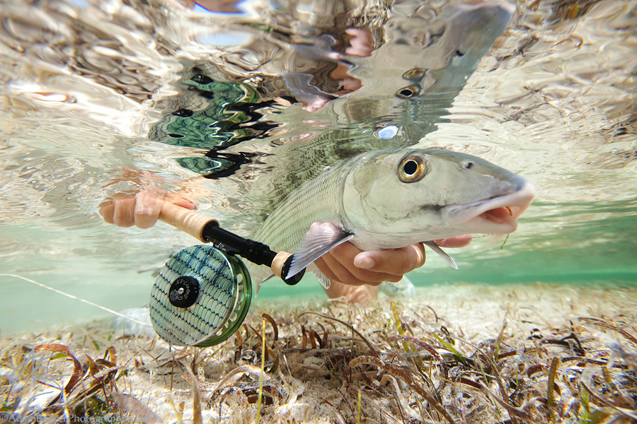 Flyfishing Large bonefish caught and released on the fly at Abaco Lodge, Bahamas