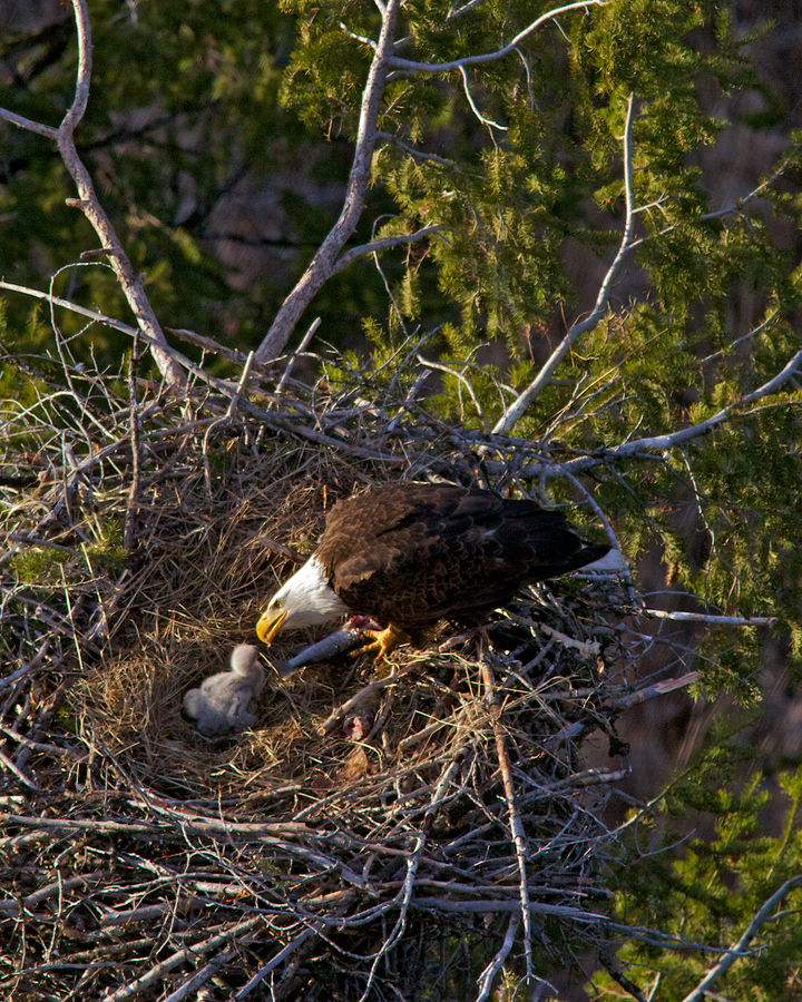 Camp and Hike Bald Eagle, Baby Eagle in Nest
