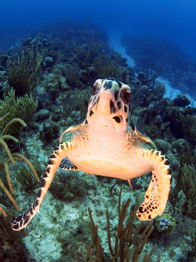 Scuba Very curious hawksbill turtle