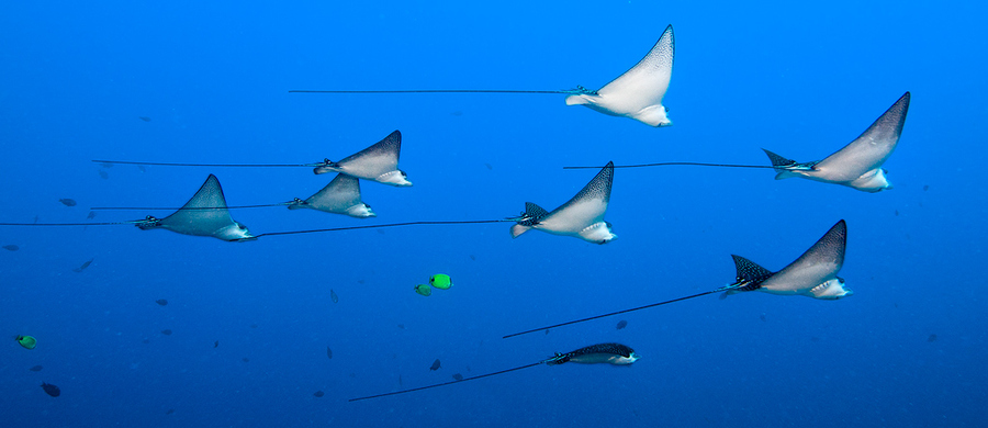 Scuba Spotted Eagle Rays at the Mahi, Oahu