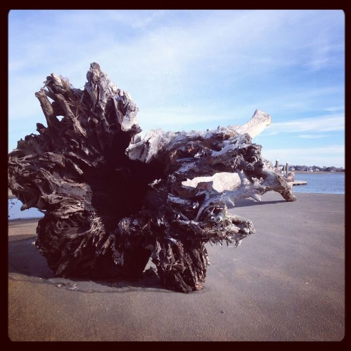 Entertainment This tree washed up and was dragged from the Long Island Sound this week in Guilford. It looks so out of place.