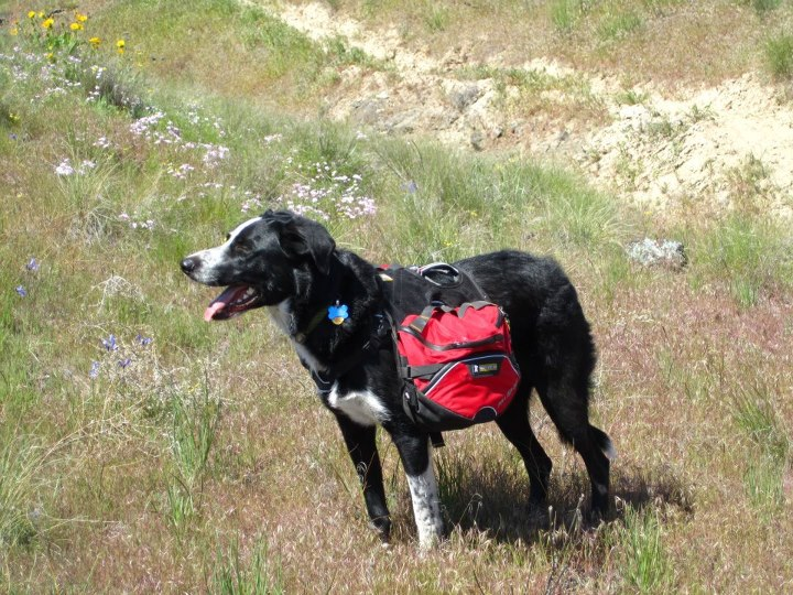 Camp and Hike My pup, Porter, enjoying a spring hike on Rattlesnake Mountain in WA.  He loves Ruff Wear and is showing off his Palisades Pack and green DoubleBack Collar.