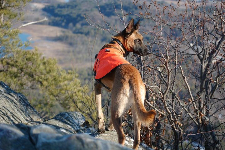 Camp and Hike Ranger is a 2 1/2 year old male Malinois whom I rescued from American Belgian Malinois Rescue Organization five months ago.  The pic was taken last week atop Monument Mountain in Great Barrington, Massachusetts.