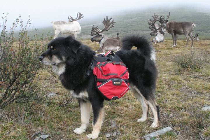 Altai (Mongol Banhar) showing off his 2008 Palisades prototype to Mongolian Dukha reindeer in the Northern Mongolian Western taiga..