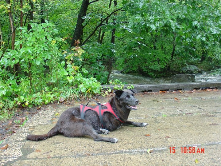 Camp and Hike This is our tripawd, Bandit, hiking at French Creek in St. Peter's Village, PA in the fall of 2006.  She lost her right front leg to bone cancer in 2001.  She enjoyed an astounding 6-1/2 year remission, not only surviving but thriving, enjoying hiking and