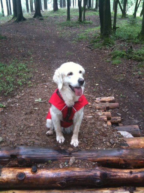 this is Jamie, our Golden Retriever Lady wearing her sun shower coat during a very wet walk in the woods.