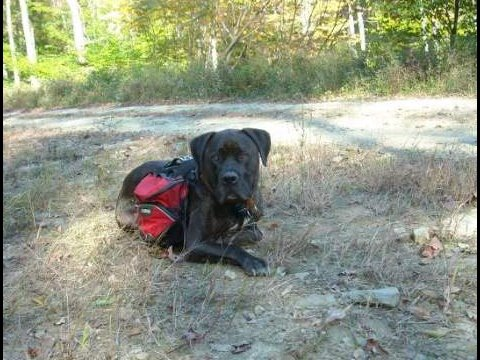 Camp and Hike We LOVE our palisaides pack, superior quality and FIT!!!  This is my Capone, he is a four year old 100lb Cane corso/pit bull mix who hauls all our beverages on our hikes in the allegheny national forrest.  His sister Lucia (cane corso) is also pictured in