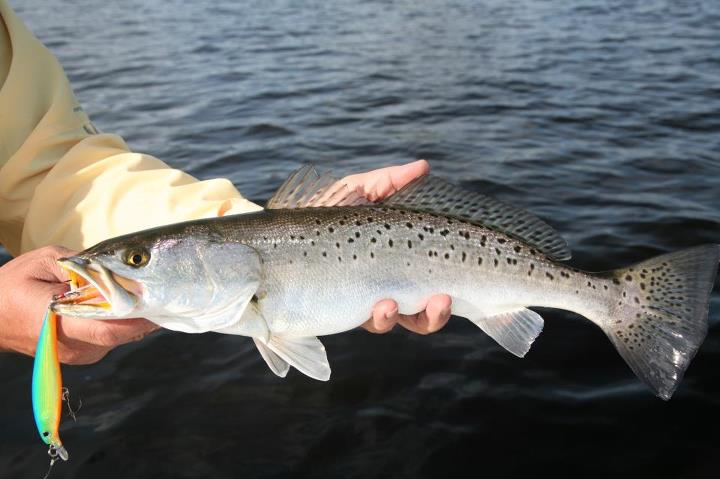 "Fishing George Poveromo, Rapala Pro and Host of ""George Poveromo's World of Saltwater Fishing on the NBC Sports Network"", caught this sea trout - and numerous others - on an X-Rap 10. He was in Virginia Beach, Virginia, shooting one of his television episodes."