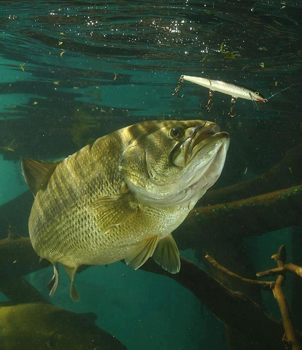 Fishing Bill Lindner shares a beautiful photo of a largemouth about to eat a Floater!