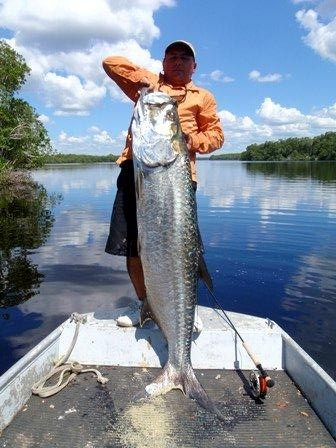 Fishing Tarpon 88,6 lb by Felipe in the Hatiguanico river, 1,78cm.