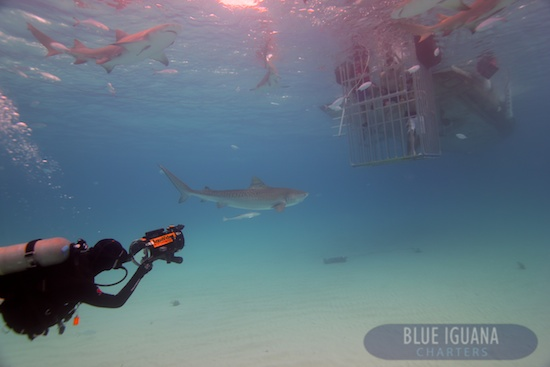 Scuba Cage Diving with Blue Iguana Charters
