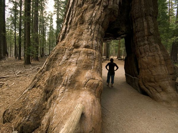 Camp and Hike Grizzly Giant, whose estimated age, around 1,500 years, makes it one of the oldest living sequoias on Earth.