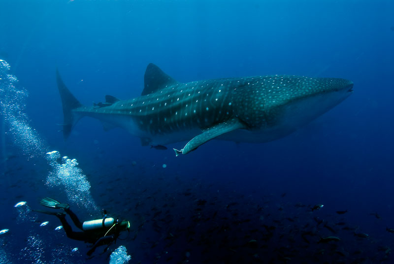 Scuba Galapagos Whale Shark Project