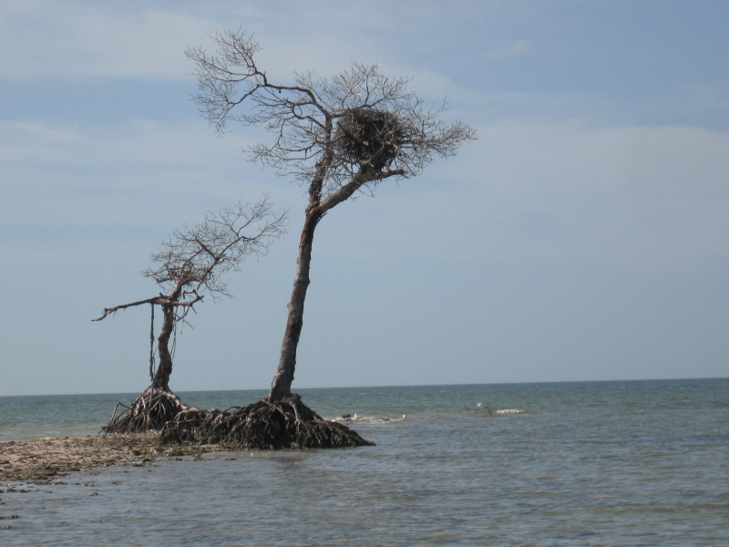 Kayak and Canoe Osprey Nest on Rabbit Key