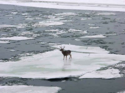 Flyfishing The buck made it to shore.