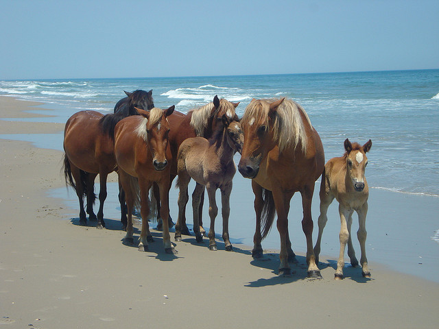 Camp and Hike Wild Horses of the Outer Banks