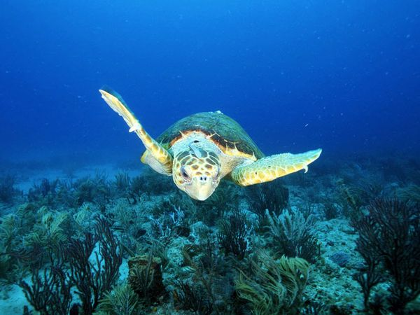 Scuba Loggerhead Sea Turtle