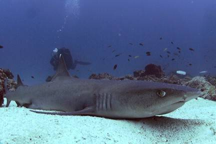 Scuba Whitetip Reef Sharks