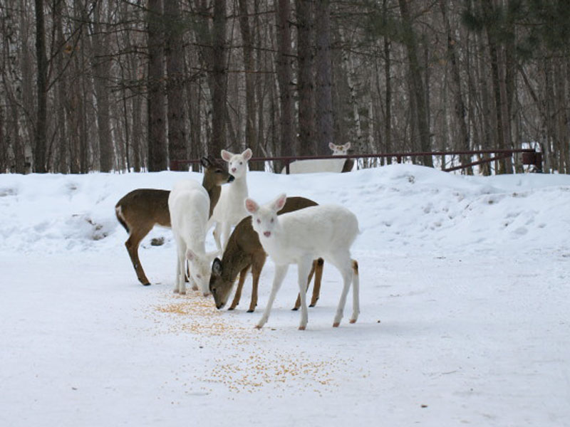 Albino deer... take em or not?